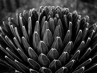 agave - Gustav Eckart, Photography