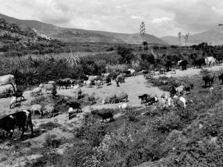 Oaxaca Herde 1 - Gustav Eckart, Photographie
