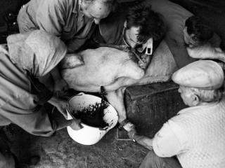 Schweineschlachten 14 - Gustav Eckart, Fotografie