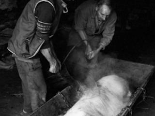 Schweineschlachten 19 - Gustav Eckart, Photographie