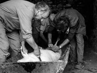 Schweineschlachten 21 - Gustav Eckart, Fotografia