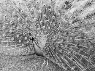 Peacock - Gustav Eckart, Photographie