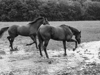 Horses in a puddle 1 - Gustav Eckart, Photographie