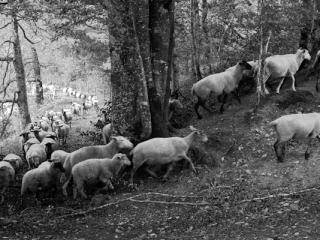 brebis - Gustav Eckart, Photographie