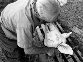 Schweineschlachten 29 - Gustav Eckart, Photographie