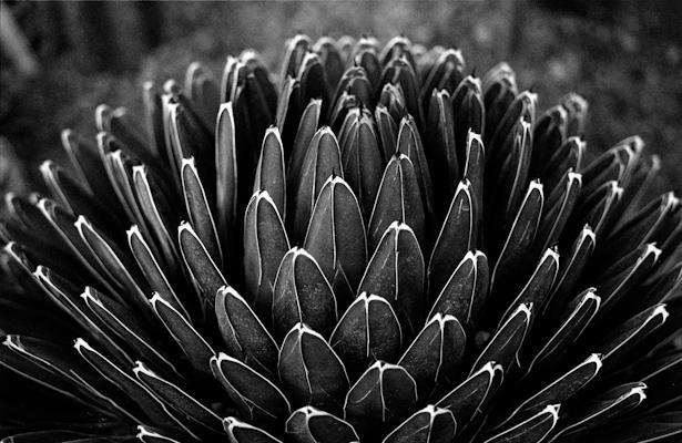 agave - Gustav Eckart, Photographie