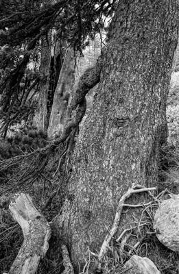 pin d'arve - Gustav Eckart, Photographie