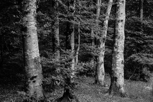 hêtres - Gustav Eckart, Photographie