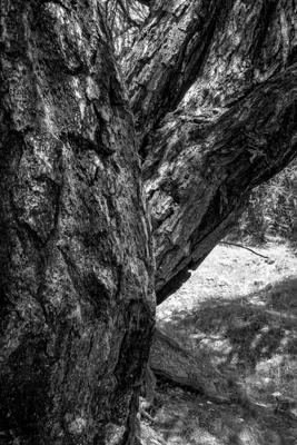 mélèze - Gustav Eckart, Photographie