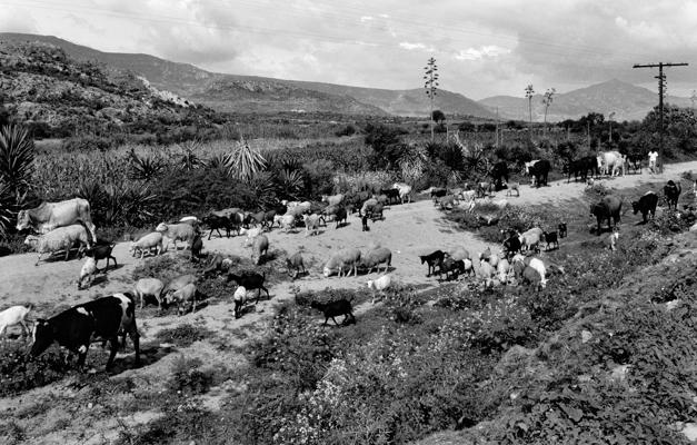 Oaxaca Herde 1 - Gustav Eckart, Fotografia