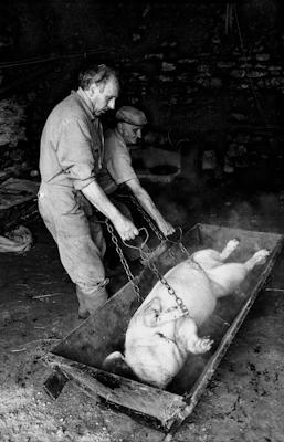 Schweineschlachten 20 - Gustav Eckart, Photographie