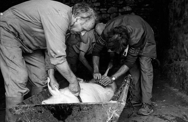 Schweineschlachten 21 - Gustav Eckart, Photographie