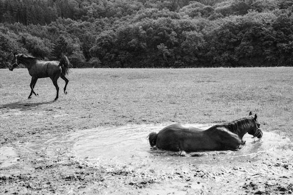 Horses in a puddle 2 - Gustav Eckart, Photographie