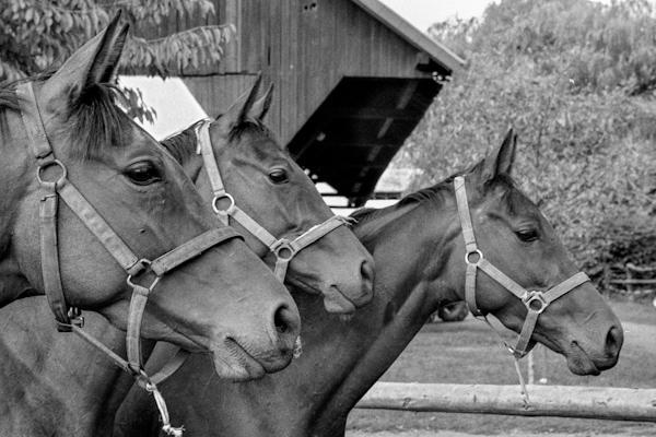 horses watching - Gustav Eckart, Photographie