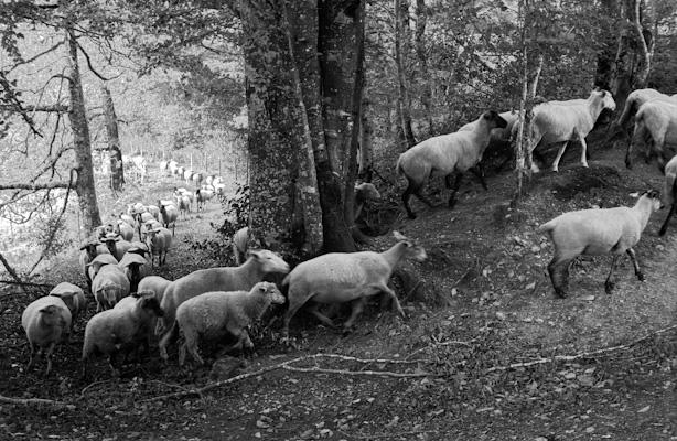sheep - Gustav Eckart, Photography