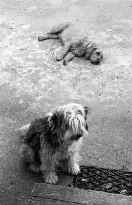 two dogs - Gustav Eckart, Photography
